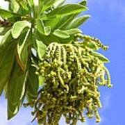 Beach Tree Seed Pods Poster