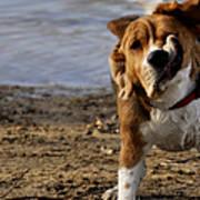 Beagle Shake Poster