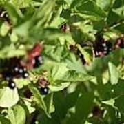 Bear Berries Poster