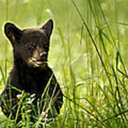 Bear Cub In Clover Poster