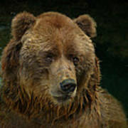 Bear In The Pool Poster