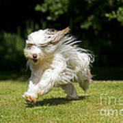Bearded Collie Running Poster