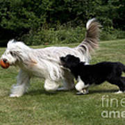 Bearded Collies Playing Poster by John Daniels