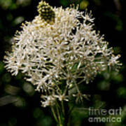 Beargrass Bloom Poster