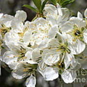 Beautiful Apple Blossoms Poster