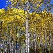 Beautiful Aspen Tree Poster