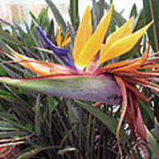 Beautiful Bird Of Paradise  Poster