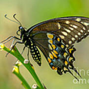 Beautiful Black Swallowtail Poster