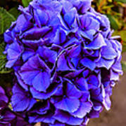 Beautiful Blue Hydrangea Poster
