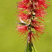Beautiful Bottle Brush Flower Poster