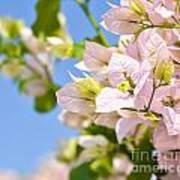 Beautiful Bougainvillea Flowers Against Blue Sky Poster
