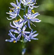 Beautiful Camas Lily In Idaho Poster