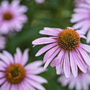 Beautiful Cone Flowers Closeup Poster