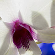 Beautiful Dendrobium Orchid Poster