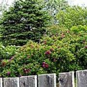 Beautiful Front Yard - Roses - Trees Poster