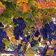 Beautiful Grape Harvest Poster
