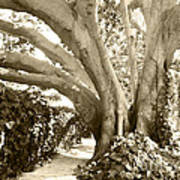 Beautiful Griffith Park Huge Trunk Tree Sepia Black White Vintage Earthy Fine Art Decorative Print Poster by Marie Christine Belkadi