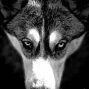 Beautiful Husky Poster by Karen Lewis