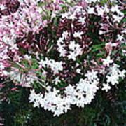 Beautiful Jasmine Flowers In Full Bloom Poster