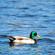 Beautiful Male Mallard Poster