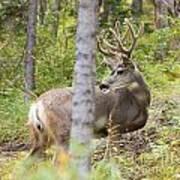 Beautiful Mule Deer Buck With Velvet Antler  Poster