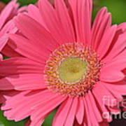 Beautiful Pink Gerber Daisies Poster