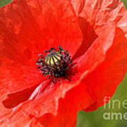 Beautiful Poppies 6 Poster
