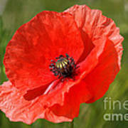 Beautiful Poppies 7 Poster