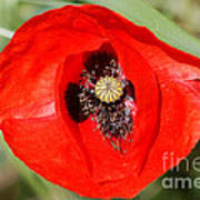 Beautiful Poppies 9 Poster