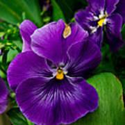 Beautiful Purple Pansies Poster