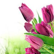 Beautiful Purple Tulips  Flower Poster