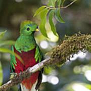 Beautiful Quetzal 1 Poster