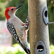 Beautiful Red Belly Woodpecker Jr Poster