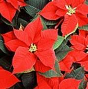 Beautiful Red Poinsettia Christmas Flowers Poster
