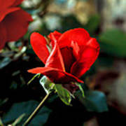 Beautiful Red Rose Bud Poster by Robert Bales