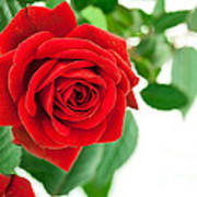 Beautiful Red Roses Flower Poster by Boon Mee