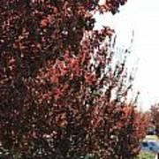 Beautiful Japanese Maple Poster