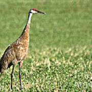 Beautiful Sandhill Crane Poster