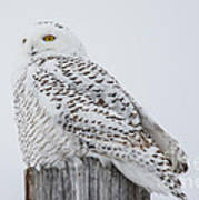 Beautiful Snowy Owl Poster