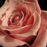 Beautiful Peach Rose Poster