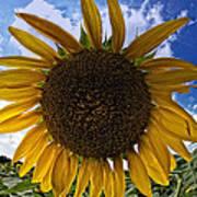Beautiful Sunflower Poster