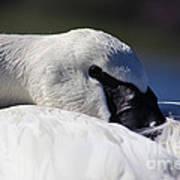 Beautiful Trumpeter Swan Poster