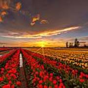 Beautiful Tulip Field Sunset Poster