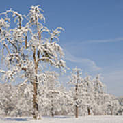 Beautiful Winter Day With Snow Covered Trees And Blue Sky Poster by Matthias Hauser