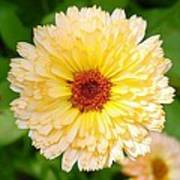 Beautiful Yellow Marigold Goldbloom Close Up  Poster