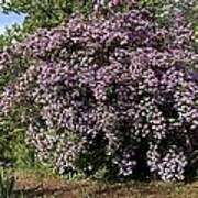 Beauty Bush (kolkwitzia Amabilis) Poster