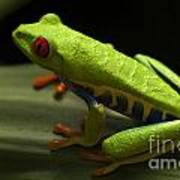 Beauty Of Tree Frogs Costa Rica 2 Poster