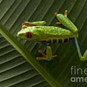 Beauty Of Tree Frogs Costa Rica 8 Poster