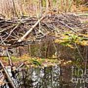Beaver Dam In Fall Colored Forest Wetland Swamp Poster