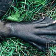 Beaver Foot Poster